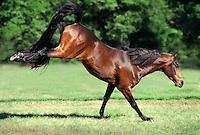 A Morgan stallion kicks up its heels at play in green paddock. horse, horses, equine, animals. #822 Morgan Kick.