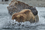 Brown bear(s), (Ursus arctos), Katmai National Park, Alaska