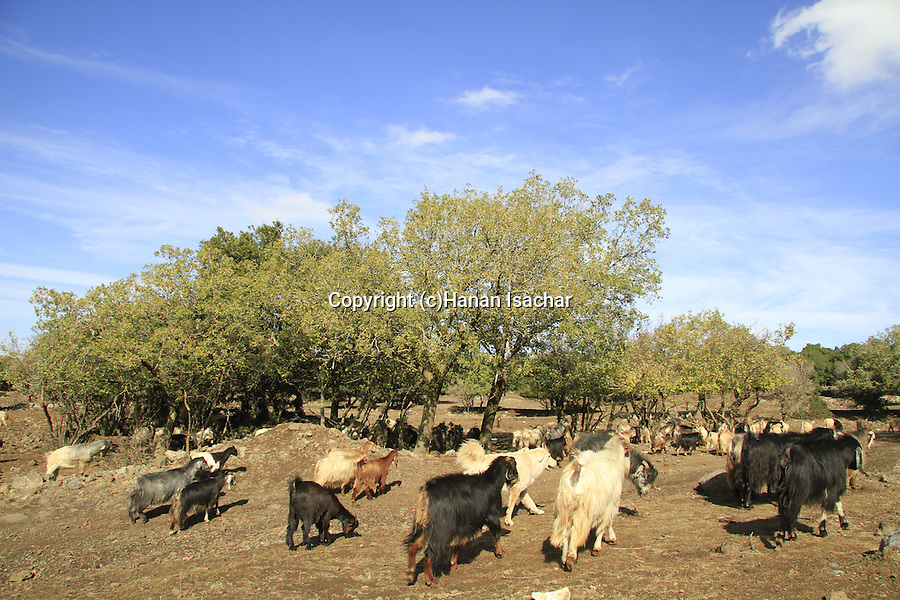 Golan Heights, Goats in Odem forest
