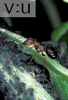 Allegheny Mound Ant (Formica exsectoides) tending aphids for honey dew