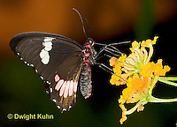 LE45-544z  Transandean Cattleheart  Swallowtail, female, Parides iphidamas, Central America