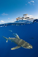 oceanic whitetip shark, Carcharhinus longimanus, with pilot fish and boat in background, Naucrates ductor, Columbus Point, Cat Island, Bahamas, Caribbean Sea, Atlantic Ocean