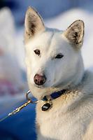 "Clint Warnkes dog ""Onion"" poses for his photo on Thursday morning at Takotna"