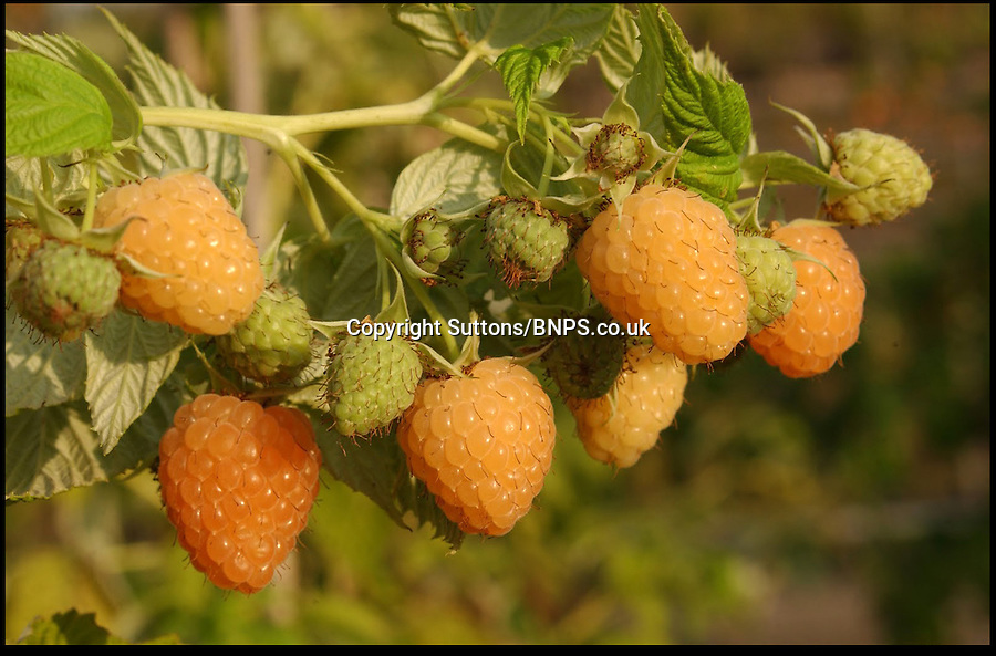 BNPS.co.uk (01202) 558833<br /> Picture: Suttons<br /> <br /> A new species of raspberry that is set to transform the fruit salad thanks to its orange colour has been grown by clever botanists. The crop is exactly the same size and shape as the traditional deep red fruit and even tastes the same. Horticulturalists at the East Malling Research Centre crossed a red raspberry plant with the yellow variety to make orange shades until they bred the perfect colour without the red pigmentation. The plants, Named 'Autumn Amber' because of its warm hue, are now being sold in the UK for the first time and can be grown in the ground or a large container on a patio area.