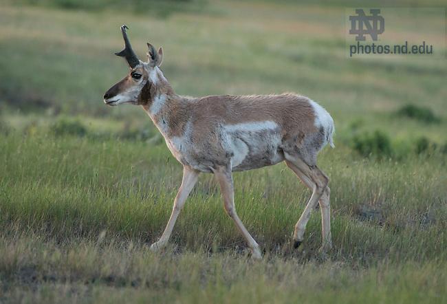 June 13, 2015;  Pronghorn deer in National Bison Range in Montana.  (Photo by Barbara Johnston/University of Notre Dame)