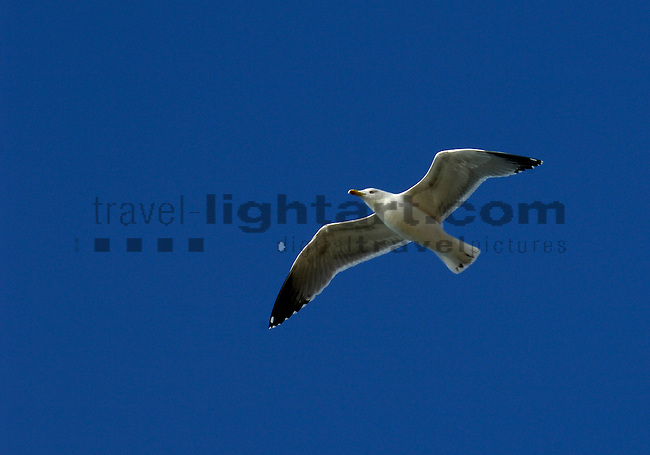 www.travel-lightart.com, ©Paul J. Trummer, Sea-Gull in flight over the coast of Novo Sancti Petri, Chiclana, Costa de la Luz, Cadiz, Andalucia, Spain, animalia, Aves, Fauna, gull, Lebewesen, Möwe, Möwen, Möwenvögel, sea-gull, Tier, Tierbild, Tierbilder, Tiere, Vertebrata, Warmblüter, Wasservögel, Watvögel, Wirbeltier, Wirbeltiere, animal, animals, bird, birds, gull bird, gull birds, living being, sea gull, sea gulls, vertebrate, vertebrates, wader, warm blooded animals, warm blooded-animal, 7/4-062, Laridae, Larus species, Moewen, nature, Voegel, wildlife, Natur, Andalusia, Barrosa Beach, Chiclana de la Frontera, Andalusien, Barrosa, Barrosa Strand, Küste des Lichts, Spanien