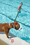 """No Diving"" the sign says.  ""Yea, and no swimming either"", Brutus seems to say as Joe Panizari of Laurel tries to coax his boxer puppy into the pool."
