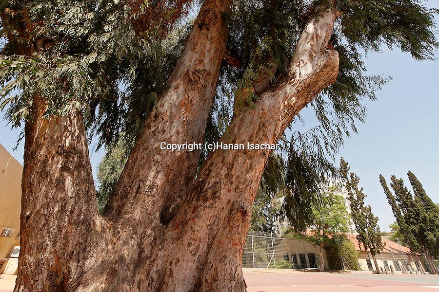 Israel, Sharon region. Eucalyptus tree in Hadera
