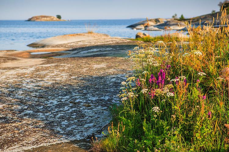 Blommor på klippa i Stockholms skärgård vid havet