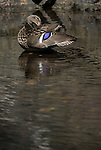 mallard duck, Anas pltyrhynchos, in the river, Estes Park, Colorado, Rocky Mountains