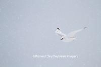 00817-00613 Gyrfalcon (Falco rusticolus) white phase in flight in snow Churchill Wildlife Management Area Churchill MB