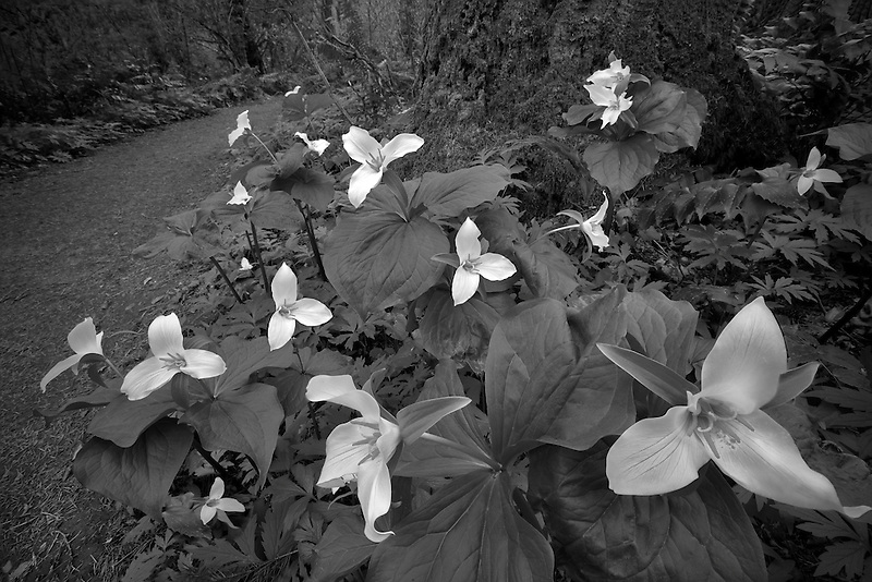 Close up of Western Trillium (trillium ovatum) and trail. Tryon Creek State Park, Oregon