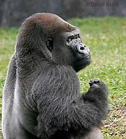 0210-08xx  Western Lowland Gorilla, Gorilla gorilla gorilla © David Kuhn/Dwight Kuhn Photography
