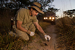 African Leopard (Panthera pardus) biologist, Jake Overton, collecing scat, Kafue National Park, Zambia