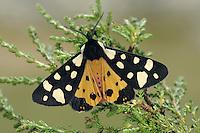 Cream-spot Tiger - Arctia villica