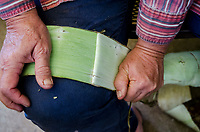 Kapa making on the Big Island: A kapa maker strips the outer bark from the inner one of wauke (paper mulberry).