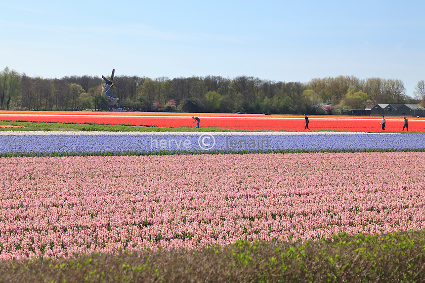"Hollande, région des champs de fleurs, Lisse, ici, champ de jacinthes // Holland, ""Dune and Bulb Region"" in April, Lisse, Here, field of hyacinths."
