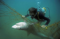 Close-up of Diver with anti-shark POD examines Tiger Shark (Galeocerdo cuvier) caught in anti-shark net off Durban Beach, Natal, South Africa.
