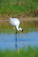 Whooping Crane (Grus americana) catching blue crab in tidal pond, Aransas National Wildlife Refuge, Texas.