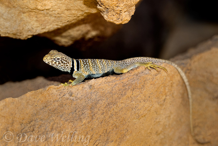 414390018 a wild great basin or desert collared lizard crotaphytus insularis bicinctores perches on a rock along chalk cliffs road near bishop in northern inyo county california united states