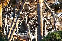 Provencal twisted and turning pine tree trunks in late afternoon warm sunshine Clos des Iles Le Brusc Six Fours Cote d'Azur Var France
