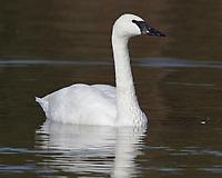 Adult trumpeter swan