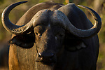 Cape Buffalo (Syncerus caffer), Kruger National Park, South Africa