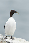 Guillemot Uria aalge in summer breeding plumage perched on clifftop with freshly caught fish while showing large feet, Northumberland, May