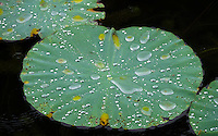 Lotus leaves with water droplets creating nice abstract pattern and textures during the Monsoon Season in North Vietnam, near Ninh Binh.