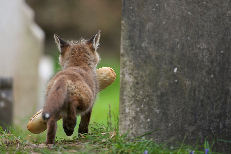 An urban living Red fox (Vulpes vulpes) cub with lunch