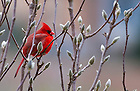 January 15, 2012; A cardinal in the garden at the retreat house. The University of Notre Dame Folk Choir held a concert for the Monastic and local community during their 2012 retreat at The Abbey of Gethsemani, Trappist, Kentucky. Photo by Barbara Johnston/University of Notre Dame