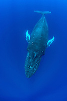 An adult Humpback Whale, Megaptera novaeanglae, rises toward the surface to breathe. Tonga, Pacific Ocean