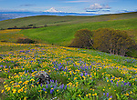 Columbia Hills State Park, WA: Columbia Gorge National Scenic Area, The Columbia Hills with lupine and balsamroot blooming and Mount Hood in the distance.