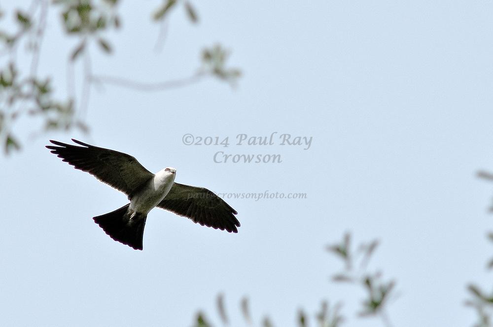 Mississippi Kite flyover