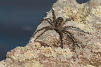 """Dark Fishing Spider""<br />