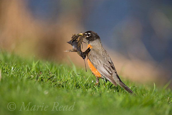 American Robin (Turdus migratorius), female gathering wet leaves as nest material, Ithaca, New York, USA