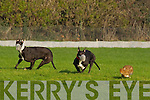 Listowel dog Nickies Rios(white) races against Ardmore Butch(Red) in The Stockproof Fencing Morris Stake at the National Coursing Meeting in Clonmel on Wednesday.