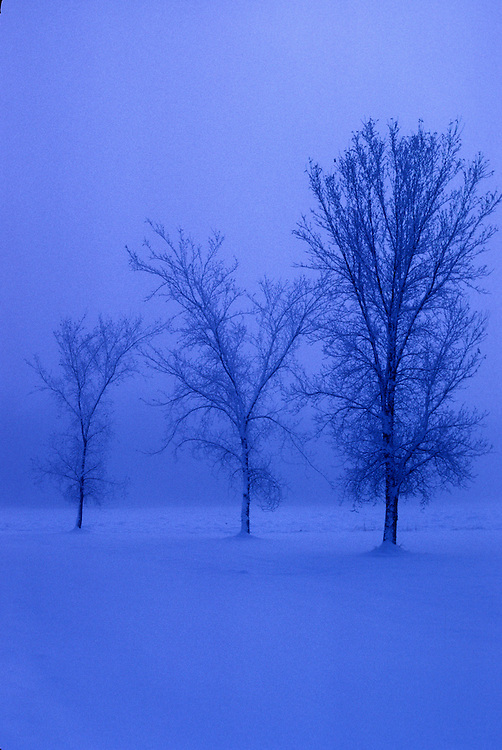Trio of bare deciduous trees in blue mist at twilight, after snowstorm on the Prairies, St. Albert, Alberta.