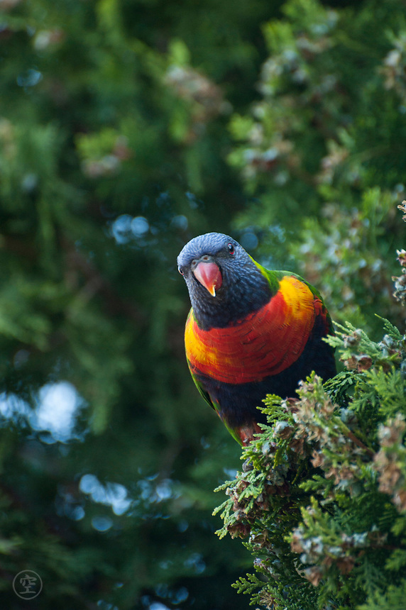 A rainbow lorikeet (Trichoglossus moluccanus) perches in a tree, ready to take flight, near Adelaide, South Australia.