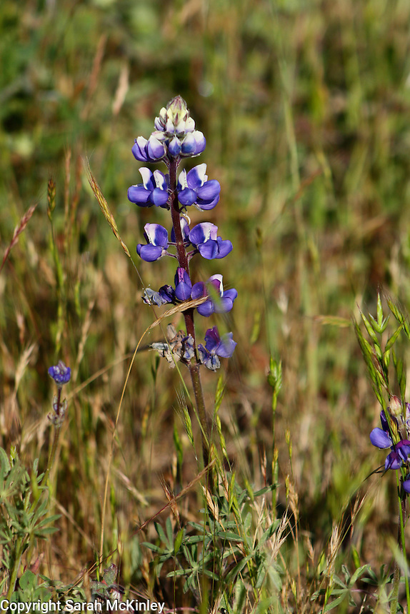 A single lupine growing in Asti in Sonoma County in Northern California.