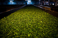 After plucking, the leaves are withered in a hall in the orthodox way by exposing freshly plucked leaves to an air stream, which eliminates the excess moisture inherent in the leaf. Seventy percent of the moisture is removed here. After fourteen hours of withering, the fermented leaves are then fed into a rolling machine.