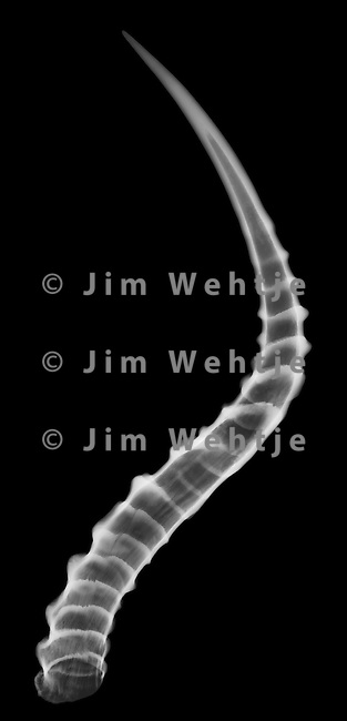 X-ray image of impala right horn keratin (white on black) by Jim Wehtje, specialist in x-ray art and design images.