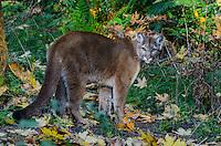 Mountain Lion or cougar (Puma concolor).   West slope Cascade Mountains of Washington.  Fall.