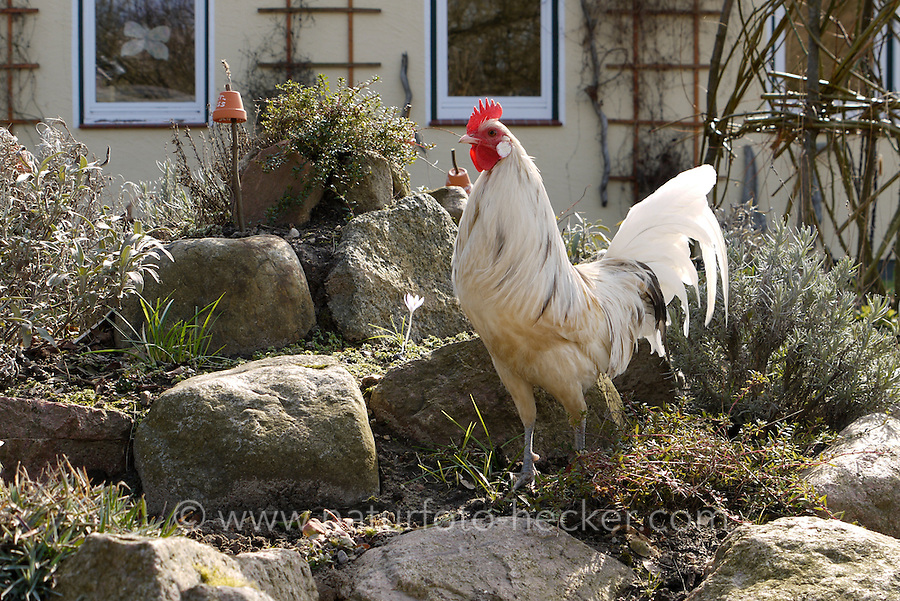 Zwerghuhn, Hahn im Garten, Hühner, glückliche Hühner, freilaufende Hühner, Artgerechte Tierhaltung, Zwerghühner
