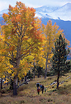 Family of five hiking beneath fall-color aspen, Rocky Mtn Nat'l Park
