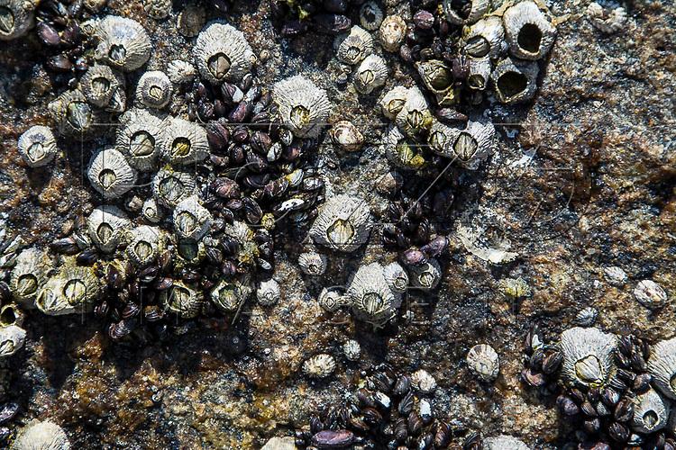 Cracas marinhas em rocha na Praia do Sono, Paraty - RJ, 01/2016.