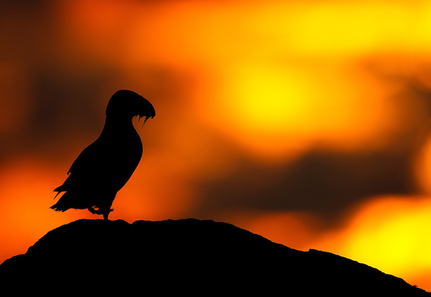 Atlantic Puffin Fratercula arctica resting on top of a cliff in the sunset, Sule Skerry, Scotland, UK