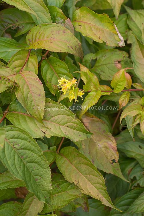 Diervilla sessifolia in flower