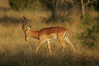 An impala stands in the bush of the Sabi Sabi Private Game Reserve in Mpumalanga Province, South Africa. Photo by Matt May