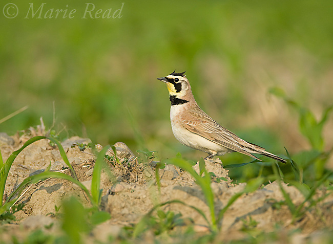 Horned Lark (Eremophila alpestris), male in breeding plumage, New York, USA